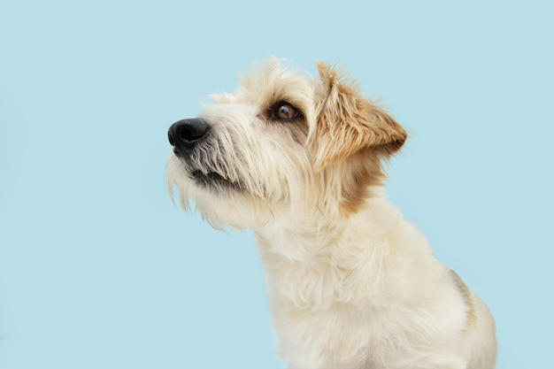 Профиль внимательный собака джек рассел смотрит в сторону. изолированные на синей поверхности