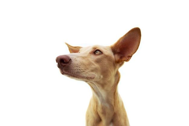 耳を傾けて大きな耳を持つプロファイルハウンド子犬犬。孤立。