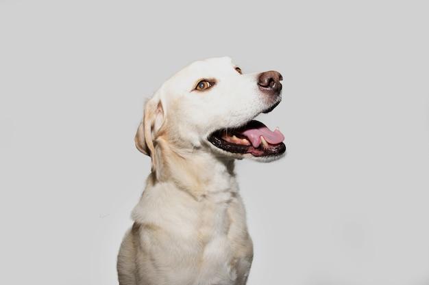プロファイルラブラドールレトリバー犬探し側。灰色の背景に分離されました。