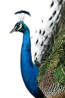 Profile of male indian peafowl