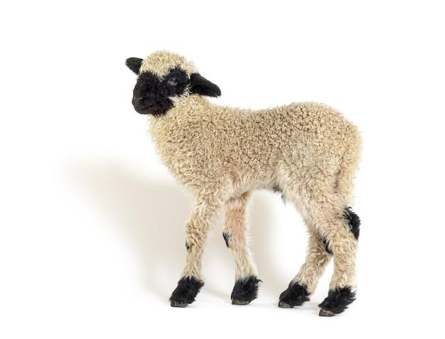 3주 된 사랑스러운 lamb valais blacknose 양의 프로필