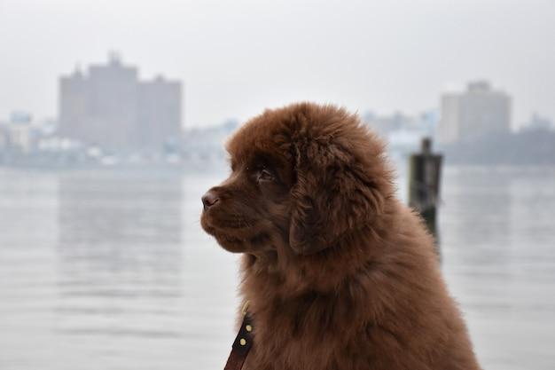 バックグラウンドでニューヨークのスカイラインを持つニューファンドランドの子犬のプロファイル