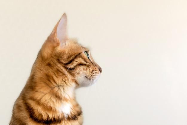 背景に大きな口ひげを生やした大人のベンガル猫のプロフィール、クローズアップ