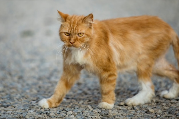 Profile portrait of ginger orange grown adult big cat with yellow eyes standing outdoors on small pebbles looking straight forward on blurred light sunny copy space