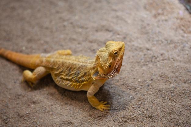 Профильный портрет бородатого дракона в темном террариуме.