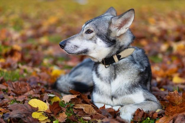 秋の芝生の上の公園に横たわっている灰色のオオカミ犬のプロフィールの肖像画