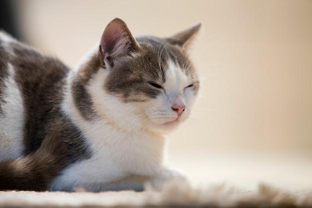 Профилируйте портрет молодого славного малого милого умного белого и серого котенка домашней кошки с усмехаясь выражением на белом космосе экземпляра. держать животного любимчика дома, концепция живой природы.