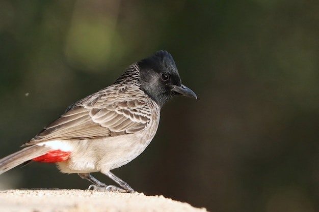 Profile portrait of a red-vented bulbul bird perched on a stone wall
