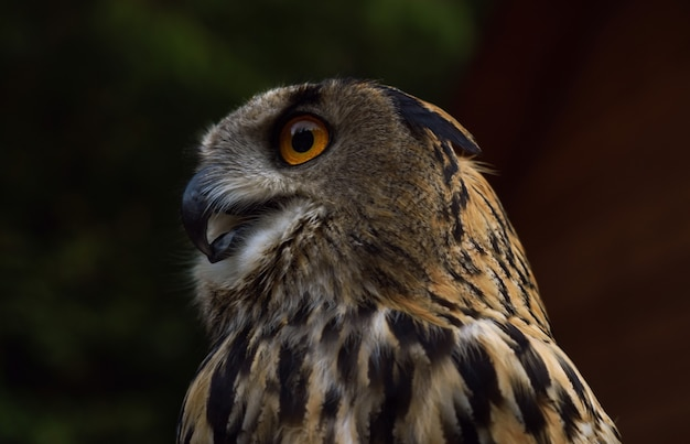 Profile view of eurasian eagle owl in the wild