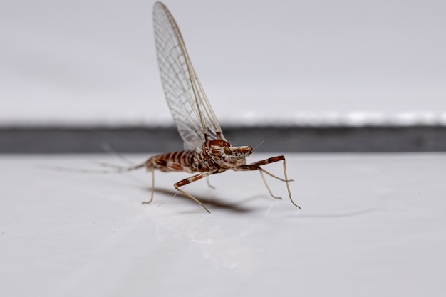 Prong-gilled mayfly of the genus thraulodes