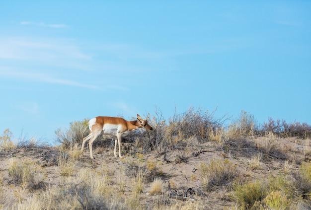 アメリカの大草原のプロングホーンアンテロープ