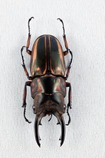 Prosopocoilus zebra scarabeo coleotteri