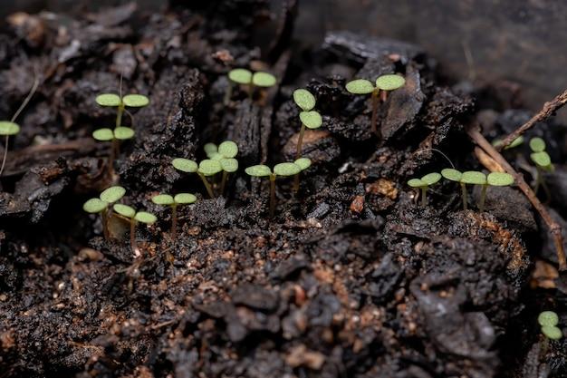 유포르비아 프로 스트라타 (euporbia prostrata) 종의 프로 스트레이트 샌드 매트 식물