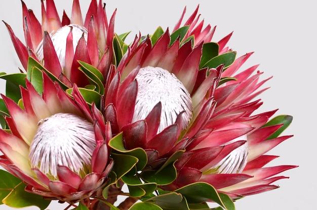 クリオパスと白い孤立した背景に赤いprotea花の束。閉じる。 de