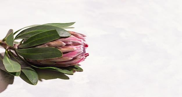白い背景の上のプロテアの花の背景。スペースをコピーします。バナー
