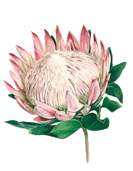 Protea flower uncovered with green leaves