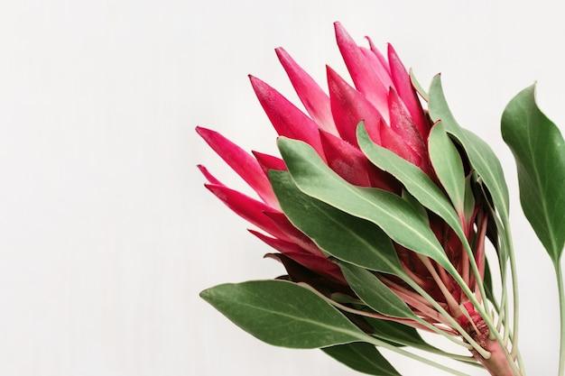 Protea 핑크 꽃 복사 공간