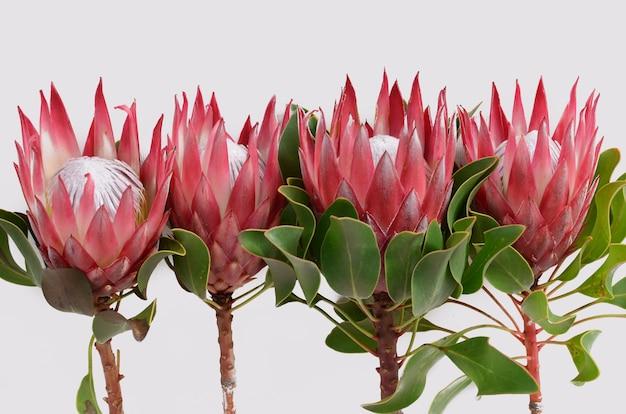 白い背景に隔離された赤いprotea花