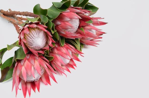 白い孤立した背景に赤いprotea花束。閉じる。デザインのため。自然。