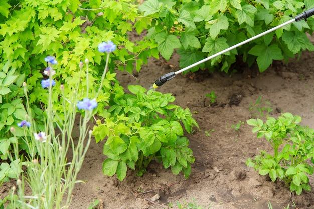 정원에 있는 압력 분무기로 곰팡이 질병이나 해충으로부터 감자 식물 보호