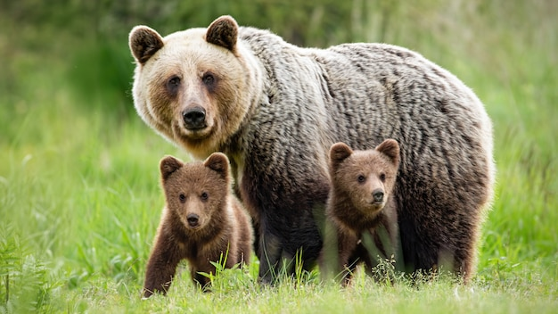 Protective female brown bear standing close to her two cubs