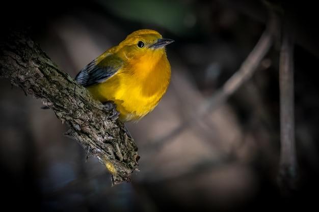 Протонотарная певчая птица (protonotaria citrea