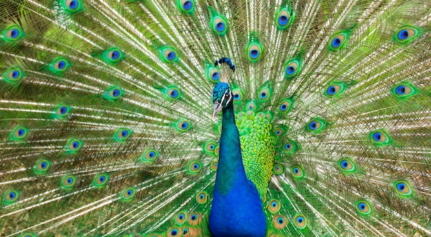 Proud peacock. bright bird with beautiful plumage, green shades.