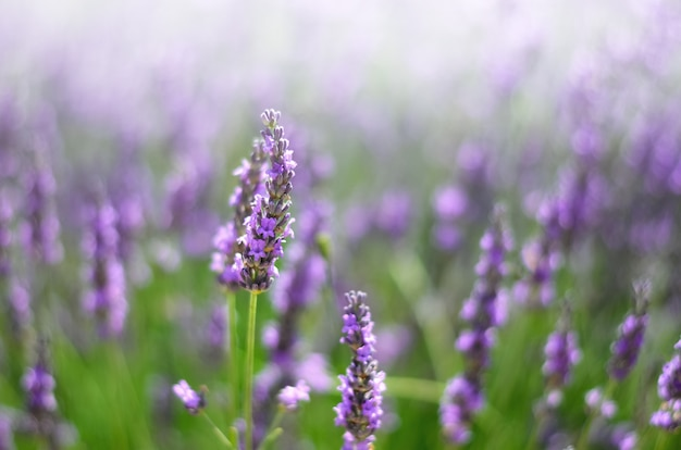 Provence nature . lavender field in sunlight with copy space. macro of blooming violet lavender flowers. summer concept, selective focus
