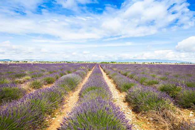 프랑스 프로방스 지역. 6월말 라벤더밭