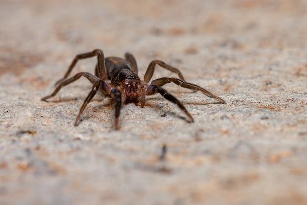 Teminiusinsularis種のうろついているクモ
