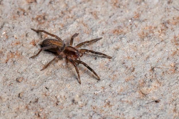 Prowling spider of the species teminius insularis