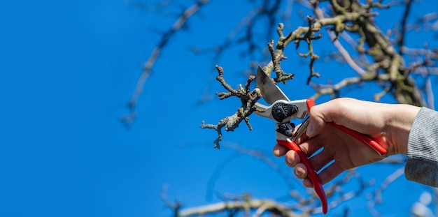 Pruning branches with pruning shears.