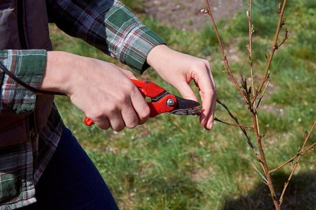 剪定はさみによる木の剪定。