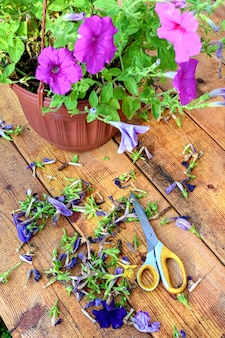 Pruning of old petunia or surfinia flowers. a wooden table with dried flowers.