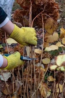 黄色い手袋で秋の庭の庭師の茎を剪定することは彼の多年生のアジサイの低木を剪定しています...