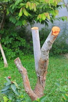 Pruning a tree in the garden.
