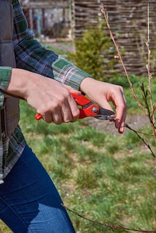 Pruning of trees by secateurs