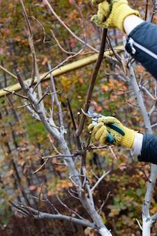 黄色い手袋をはめた男の手の秋の庭のクローズアップで木を剪定し、剪定ばさみをトリミングします...