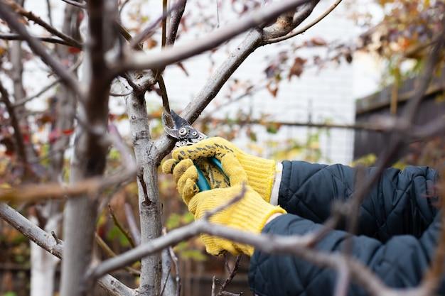 秋の庭で木を剪定する園芸用手袋で人間の手は剪定ばさみを保持します庭師は乾いた枝を切ります...