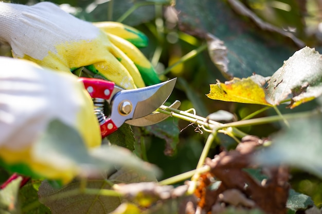Pruning vines with pruning shears in the fall. plant care and cultivation.