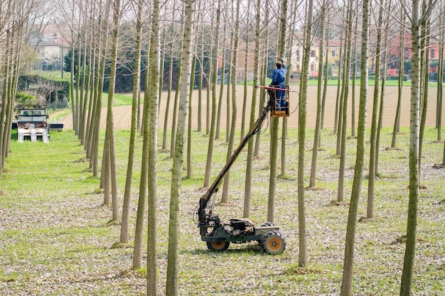 Pruning works on poplar trees using remote controlled truck