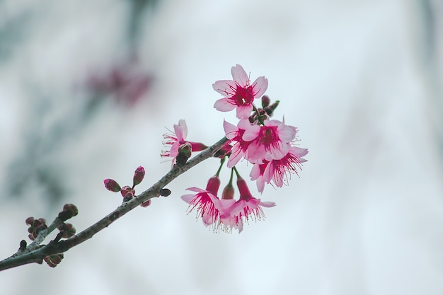Prunus cerasoides are beautiful pink in nature. in the north of thailand flowering during january
