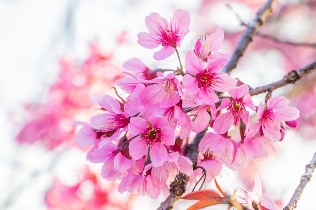 Prunus cerasoides a beautiful wild flowers in nature.