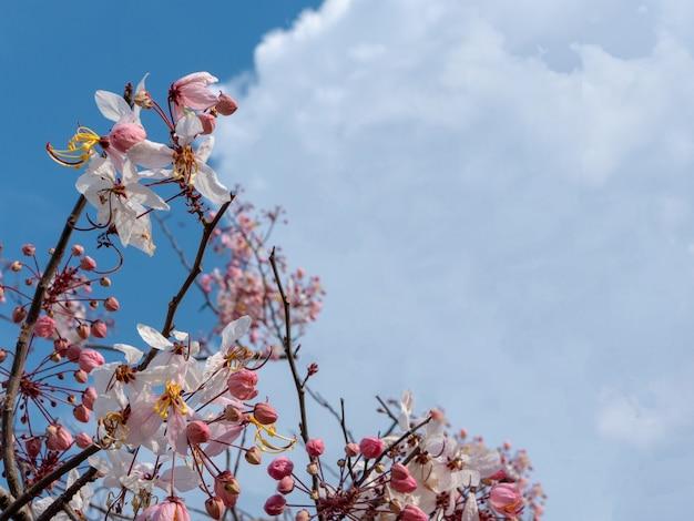 Розовый prunus cerasoides на голубом небе с облачным фоном