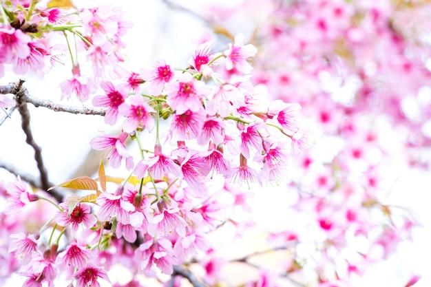 Цветы розовой вишни, дикая гималайская вишня (prunus cerasoides) на севере таиланда