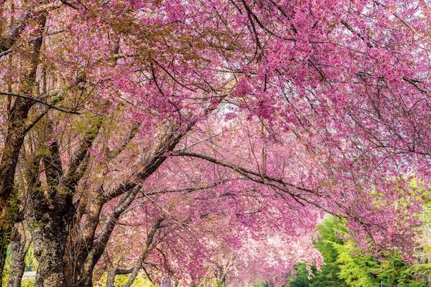 Цветок дикой гималайской вишни (prunus cerasoides) в таиланде