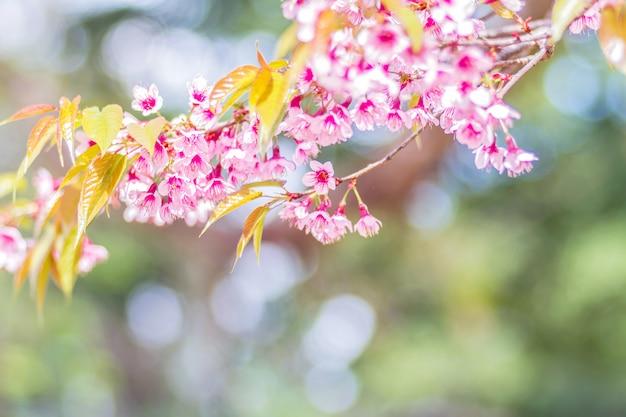 Крупным планом розовые цветы дикой гималайской вишни (prunus cerasoides) с размытым фоном боке, чианг май, таиланд