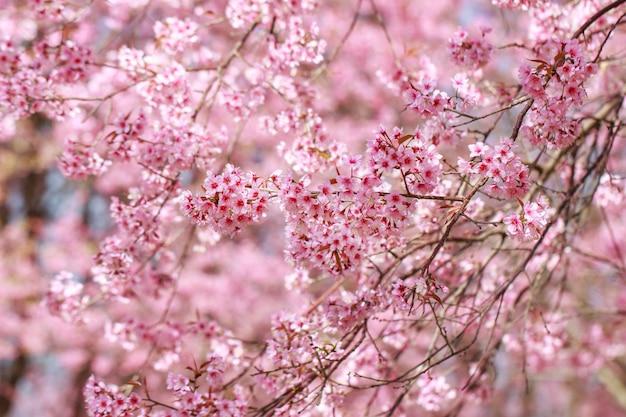 Дикая гималайская вишня цветет весной (prunus cerasoides), сакура в таиланде