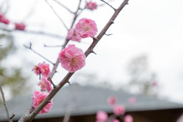 サクラの梅の花
