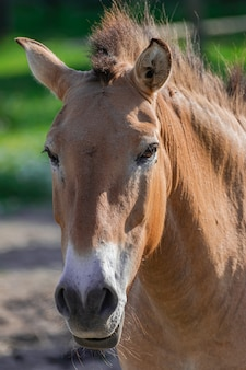 Przewalski horse head portrait